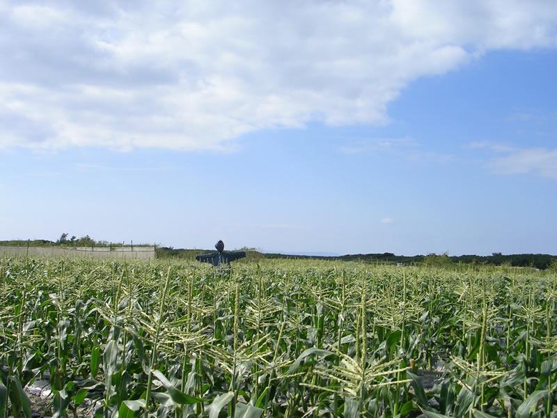 トウモロコシ畑とカカシ