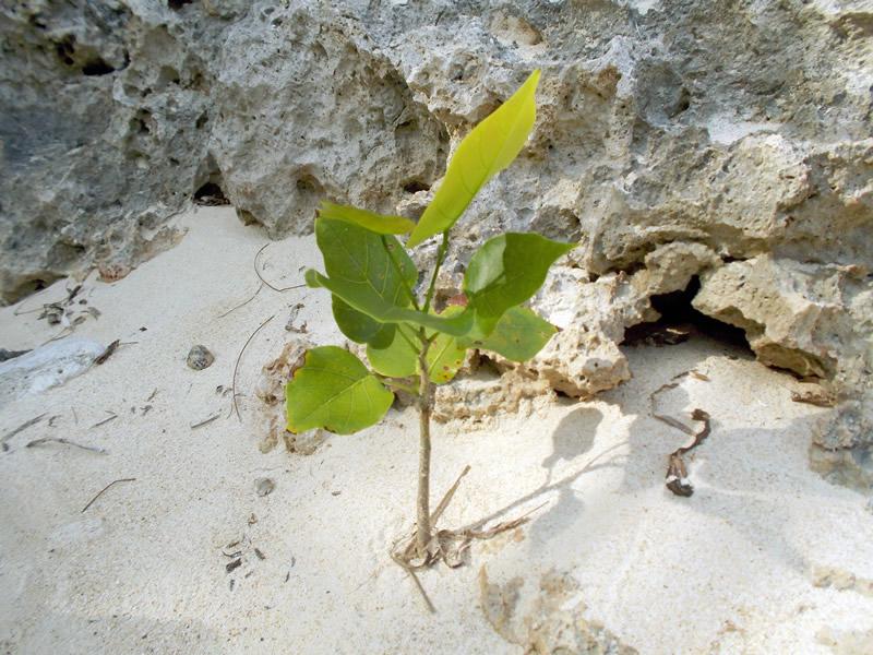 海辺の植物(ヤドカリ島)
