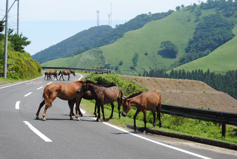 都井岬の野生馬